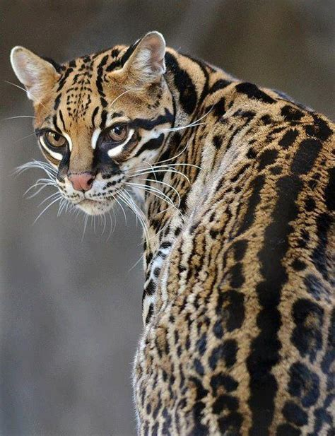 cats that look like jaguars 36 best images about ocelot on cats arizona