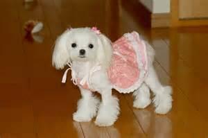 human hair dog cut pics omg how stinkin cute is this maltese love the cut love
