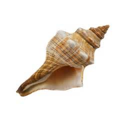 Fox conch shell 6 quot 7 quot real sea shells beach party decorations