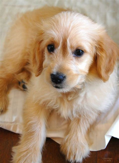 golden retriever with poodle best 10 golden retriever poodle mix ideas on golden doodles mini
