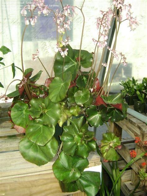 plantfiles pictures begonia rhizomatous begonia erythrophylla helix begonia by treefrogdemon
