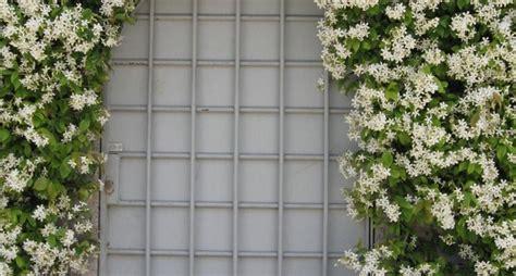 gelsomini in vaso gelsomino ricante piante per giardino coltivare