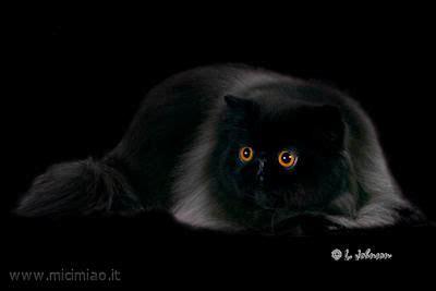 gatti persiani neri il gatto persiano nero