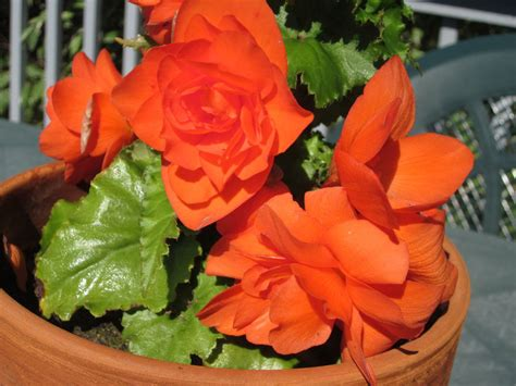how to store tuberous begonias for the winter and restart in the spring dengarden