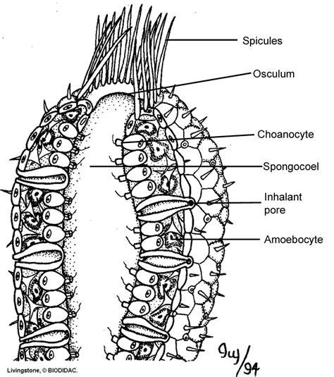 anatomy of a sponge diagram a