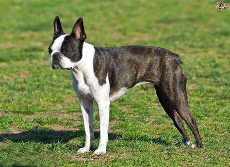 alimentazione boston terrier boston terrier una razza poco conosciuta ma davvero