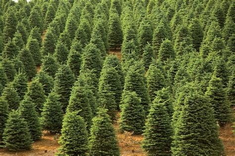 new jersey christmas trees the reason for the season