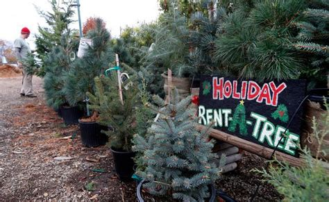 san jose rent a living christmas tree then return it for