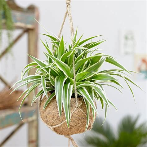 spider plant chlorophytum comosum ocean indoor house