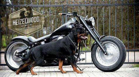 rottweiler motorcycle stunning rottweiler pictures rottweiler