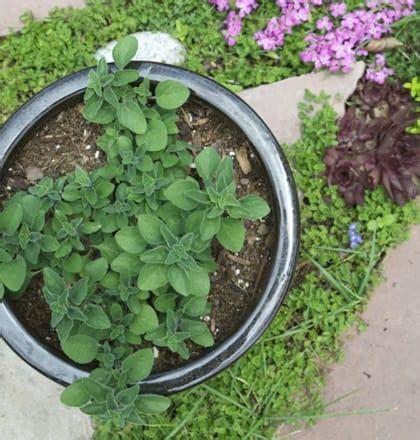 Bibit Oregano 9 jenis tanaman herba yang bisa ditanam dalam pot dan cara menanamnya bibit