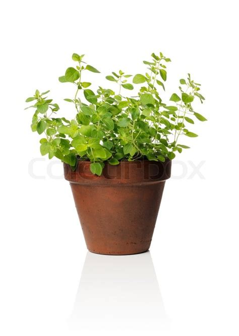 herb pots a clay pot with oregano herb stock photo colourbox