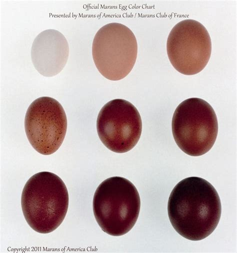 egg color chart the breed i chose black copper marans the of doing