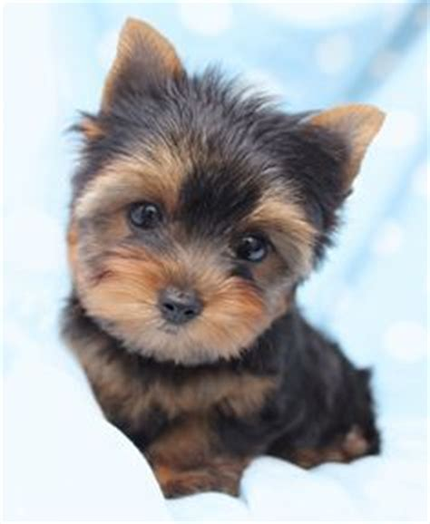 teacup yorkies south florida there are plenty pomsky puppies for sale in miami florida to adopt and buy you can