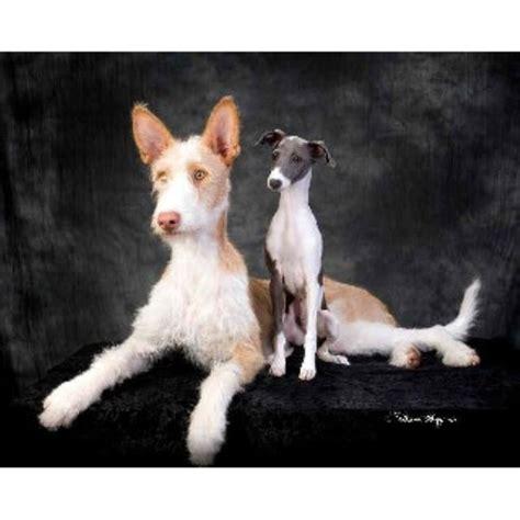 ibizan hound puppies for sale ibizan hound breeders in washington freedoglistings