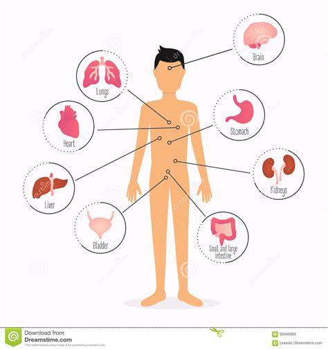 organi interni corpo umano corpo umano con gli organi interni infograp di sanit 224
