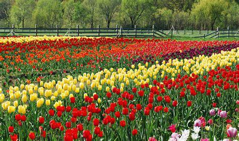 netherlands tulip fields tulip fields car interior design