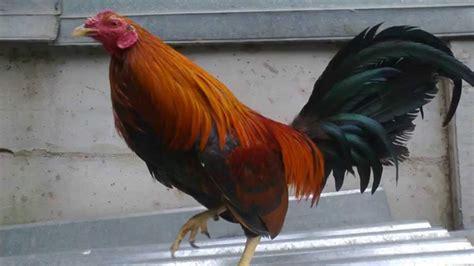 peleas de gallos finos 2015 www gallos de peleas peleas de gallos en mexico 2015
