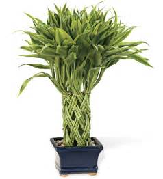 windweather triple braided lucky potted bamboo plant live plants and bulbs gigalinks