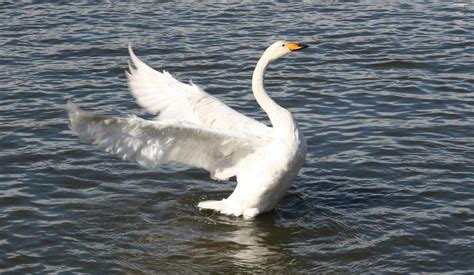 Flapping Swan Origami - flapping swan jpg
