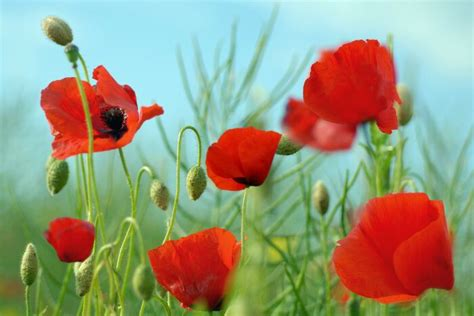 google images poppies poppy flower google search my favorite flower