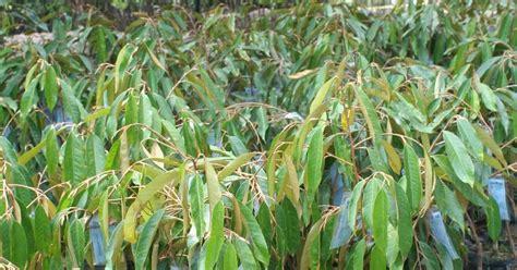 Bibit Duku Asal Bibit Dari Sambung Pucuk jual bibit durian unggul jual bibit durian di samarinda