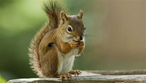 why do squirrels lose their hair sciencing