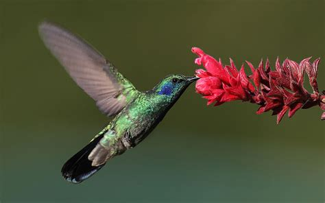 amazing facts about hummingbird amazing creatures