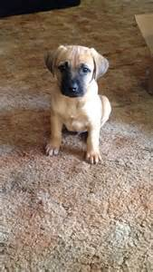 black cur best 25 black cur ideas on cow name leopard and rhodesian