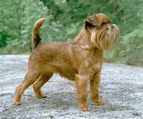 griffon bruxellois — wikipédia