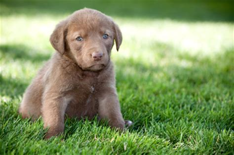 chesapeake bay puppies chesapeake bay retriever