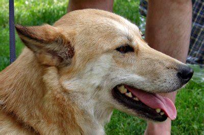 sahraa  kuwaiti desert dog photo gallery  helen betts  pbasecom
