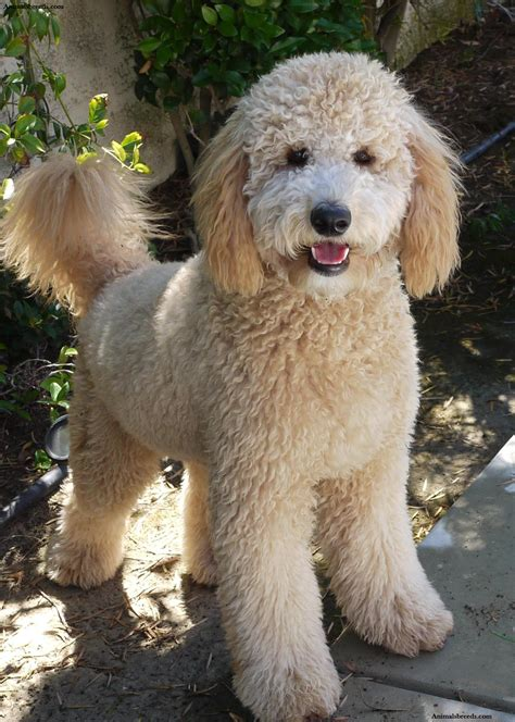 golden labradoodle puppy goldendoodle puppies rescue pictures information temperament characteristics
