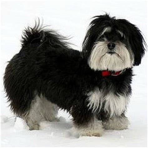 havanese names black and white names