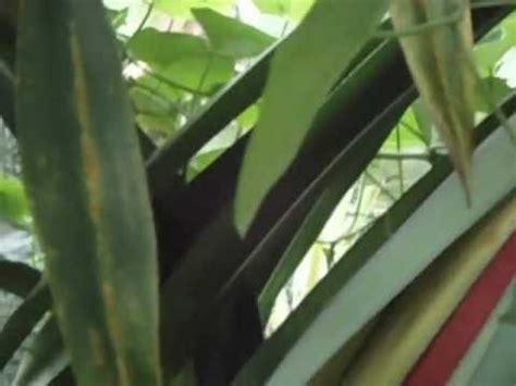 Getah Buah Merah minyak buah merah papua