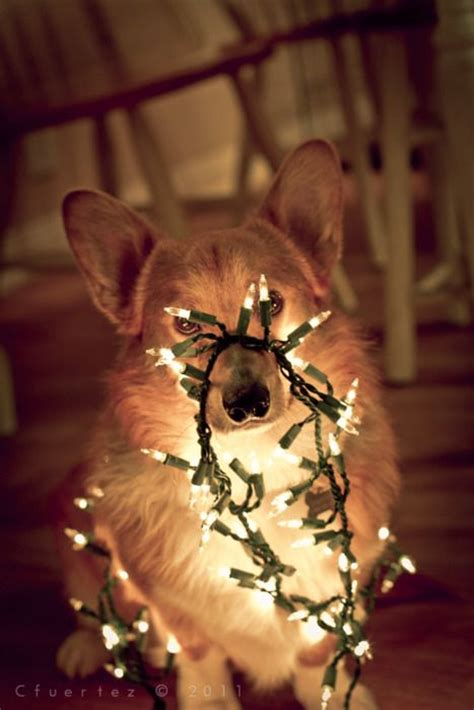 henry the ã s corgi a feel festive read to curl up with this books 191 best images about dogs wrapped in lights on