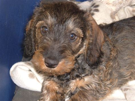 wire haired dachshund puppies for sale wirehaired dachshund quotes