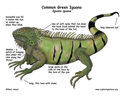 can iguanas change color iguana common green