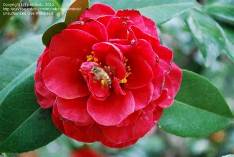 Cammelia Maroon 1 plantfiles pictures common camellia japanese camellia maroon and gold camellia japonica by