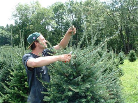 tree care maine christmas tree association