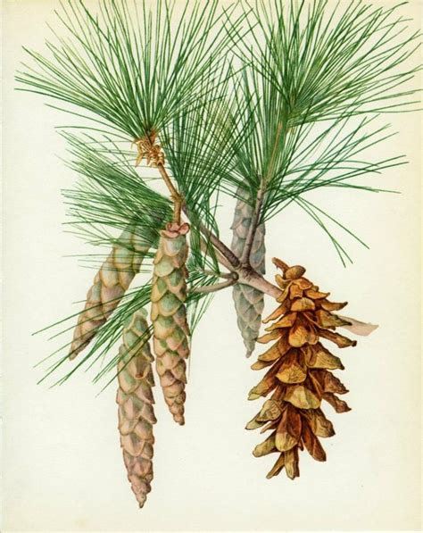 krismas tree to botni name vintage tree print weymouth or eastern white pine tree botanical book plate 44