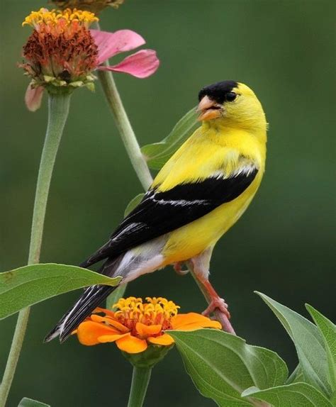 78 best images about gold finch on pinterest sunflower