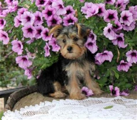 yorkie puppies for sale in bloomington il dogs bloomington il free classified ads