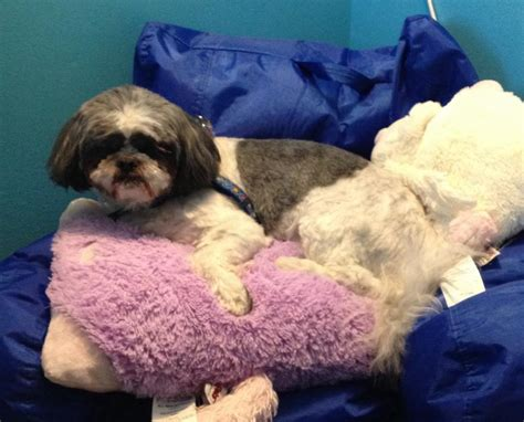 shih tzu breeders in ct lhasa apso shih tzu mix for adoption to loving home middletown ct adopt teggie