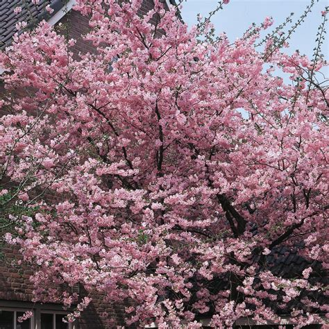 5 cherry tree wilmslow shop 24 5 gallon kwanzan flowering cherry flowering tree l1023 at lowes