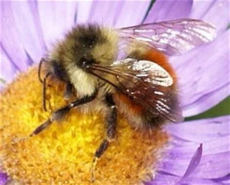 bumble bees bee friendly
