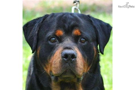 rottweiler puppies for sale in houston tx rottweiler puppy for sale near houston baa34e21 3551