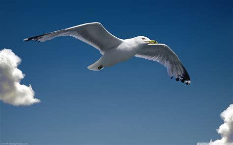 il gabbiano jonathan livingston frasi pi禮 seagull 4k hd desktop wallpaper for dual monitor