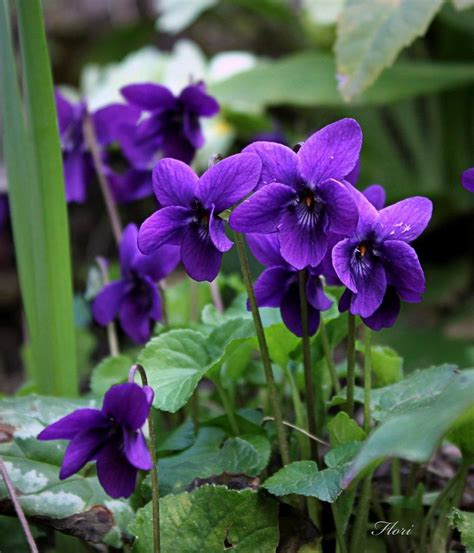 violetas silvestres violet flower beautiful flowers