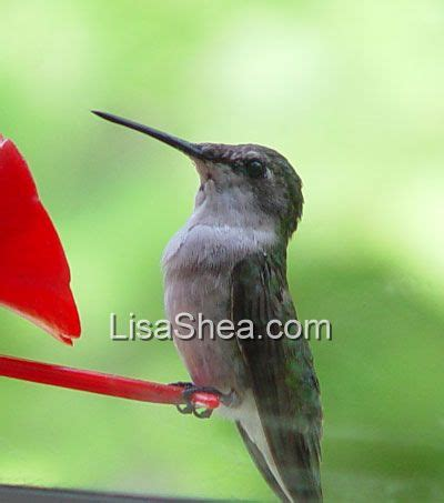 ruby throated hummingbird birds in sutton massachusetts